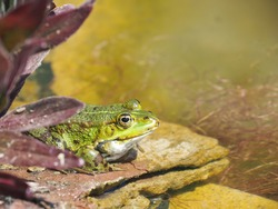 A frog sitting on a rock in a pond
