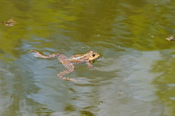 A frog swims in a pond.