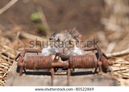 A front close-up view of a field mouse caught in a rat trap on a row of hay.