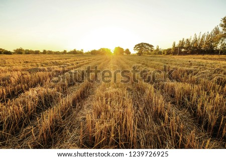 a front selective focus picture of dried golden  rice field after collecting season at agriculture farm in the evening summer sunset. #1239726925