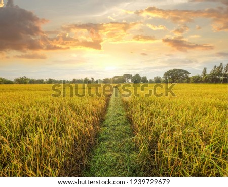 a front selective focus picture of golden  rice field at agriculture farm in the evening summer sunset. #1239729679
