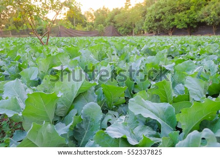 a front selective focus picture of organic chinese broccoli or chinese kale in agriculture farm.