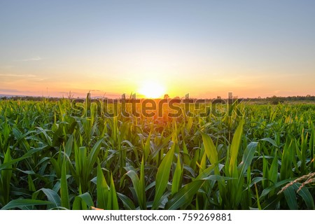 a front selective focus picture of organic young corn field at agriculture field.