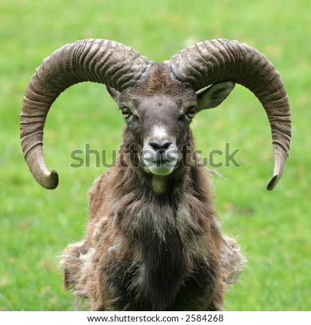 A frontal portrait of a goat with horns against a green background