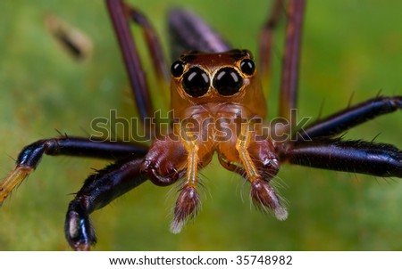 A frontal portrait shot of a reddish jumping spider