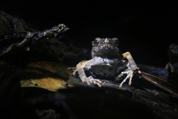 A frontview of a Peter's dwarf frog, Engystomops petersi, a dark brown frog or toad with orange dots and a white belly looking angry at the camera