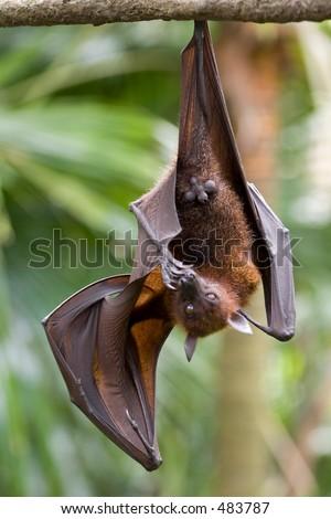 A fruit bat bites it's toe nails