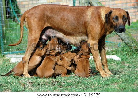 A full body of a beautiful big Rhodesian Ridgeback hound female dog with caring expression in her face feeding her five weeks old cute little puppies which are sucking the milk