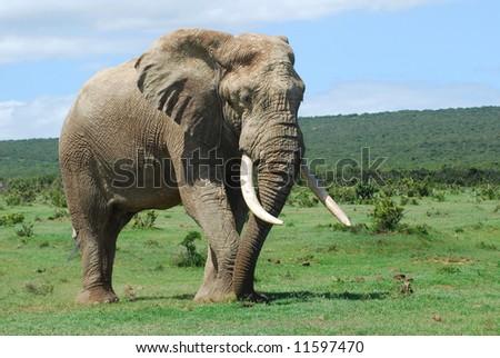 african elephant art. an African Elephant bull