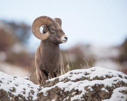 A full curl male big horn sheep looking to the right from above photographer; blue sky background