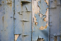 A full frame, close up background of textured planks of rotting and decaying wood with peeling blue paint and copy space