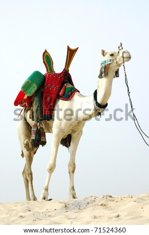 A full framed image of a white Tuareg nomad camel standing in the desert ready to ride