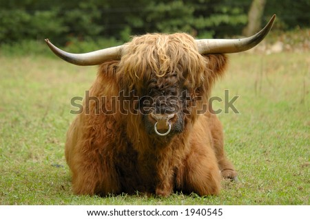 A full-frontal view of a bull (ox) of the Scottish  Highland cattle breed. Flies on his nose. Known as the 'Hairy coo' in Scotland.
