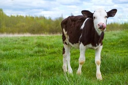 a funny black-and-white calf with a spotted nose and tongue on the green grass. looks at the camera