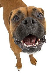 A funny Boxer breed dog with a big head and smile looking up with a happy expression