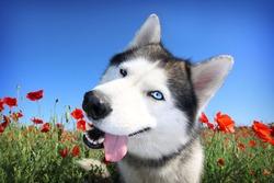 A funny dog. Siberian husky in a poppy field. Portrait of a blue-eyed dog.
