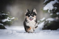 A funny female fluffy welsh corgi pembroke puppy runs along a snow-covered path among spruce trees against the backdrop of a bright winter landscape