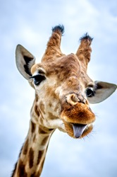 A funny giraffe shows his tongue.