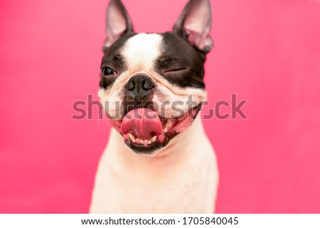 A funny, happy Boston Terrier dog with a winking eye, a smile, and a protruding tongue on a pink background. Foto stock ©