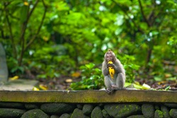A funny little macaque with a tuft on his head, holds a banana in his mouth, sits on a stone fence and looks in surprise at the shot. Cute monkeys lives in Ubud Monkey Forest, Bali, Indonesia.