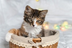 a funny little one is sitting in a basket on a white background. he has a half-black, half-white nose.There are Christmas lanterns nearby.He looks away. It is tricolor. There is a place for your text.