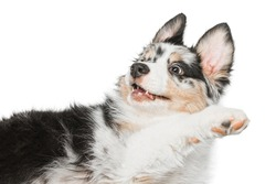A funny multi-colored puppy lies with a raised paw and looks to the side. Aussie, Australian shepherd dog. The background is isolated.