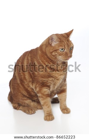 A funny photo of an orange tabby cat sticking out its tongue. Isolated on a white background.