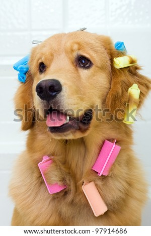 A funny photograph of a golden retriever dog sitting in a bath tub with colorful hair curlers attached to his long coat of fur. - stock photo