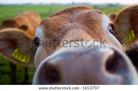 A funny picture of a cow almost in the camera