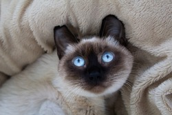 A funny portrait of a Thai (Siamese) domestic cat lying on its back on a fluffy plaid with a surprised look and large blue eyes. Close up. Siamese cat warily watching. Beautiful blue eyes