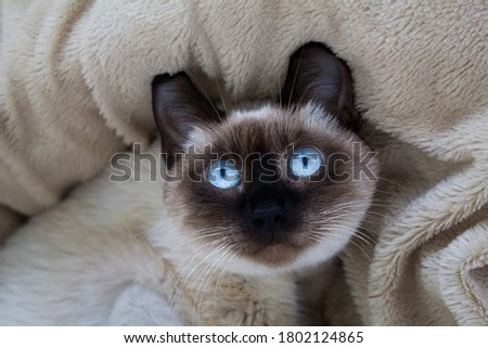 A funny portrait of a Thai (Siamese) domestic cat lying on its back on a fluffy plaid with a surprised look and large blue eyes. Close up. Siamese cat warily watching. Beautiful blue eyes Foto stock ©