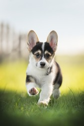 A funny tricolor welsh corgi pembroke puppy running on green grass against the backdrop of a bright summer landscape and the setting sun. Paws in the air. Looking into the camera. The mouth is open.