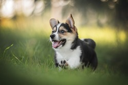 A funny tricolor welsh corgi pembroke puppy running on green grass against the backdrop of a bright summer landscape and the setting sun. Paws in the air. The mouth is open.