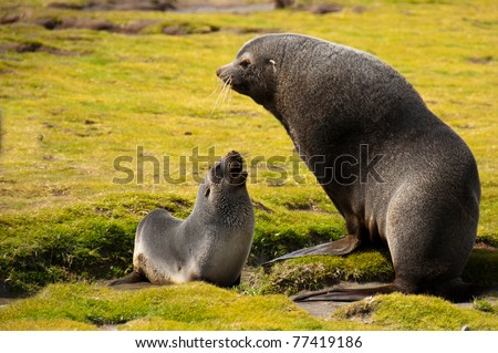 A fur seal mother and her young pup converse at their colony in Fortuna Bay, South Georgia Island. - stock photo