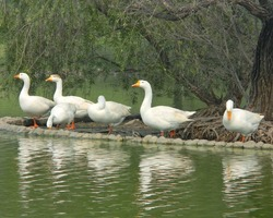 A gaggle of geese near Rajghat in Delhi