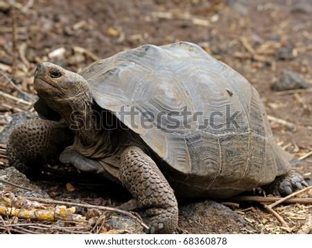 A Galapagos Giant Tortoise (Geochelone nigra) in the Galapagos Islands (Isabela Island)