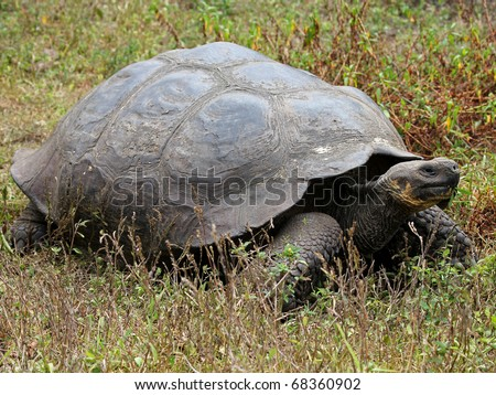A Galapagos Giant Tortoise (Geochelone nigra) in the Galapagos Islands (Santa Cruz Island)