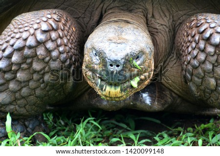 A Galapagos turtle. Galápagos giant tortoise is the largest living species of tortoise. Modern Galápagos tortoises can weigh up to 417 kg and to live over 100 years.