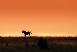 A gallop of a wild horse at sunset