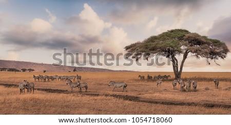 A game drive Safari with Zebra scene in Serengeti national park,Tanzania. Photo stock ©
