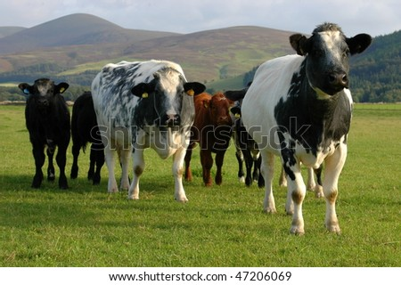 A gang of cows on pasture