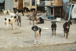A gang of stray dogs. Shelter for sick dogs.