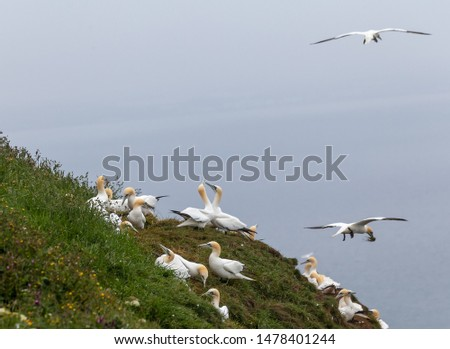 A gannetry of gannets on a grassy cliff edge. Some are digging out the grass for their nest while others rub beaks. Two in flight one with a beak full of grass.