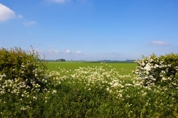 a gap in a flowering hawthorn hedgerow looking over agricultural scenery in the Yorkshire Wolds with white blossom cow parsley and wild grasses under a blue sky with white cloud in Summer