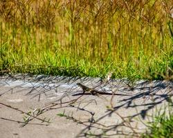 A garden lizard in San Diego, California.