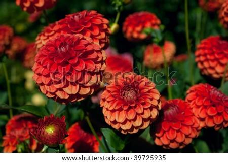 Dahlia Flowers Nyc And Orange Dahlia Flowers