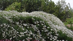 A garden of White Marguerite flowers White petals with yellow center and green leaves