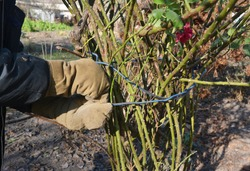 A gardener in protective gloves is tying up a hardy shrub roses with a wire or twine to prepare roses for winterizing by wrapping the canes in burlap, straw and fallen leaves.