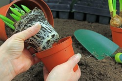 A Gardener Removing A Root Bound Plant From A Pot Ready To Repot.