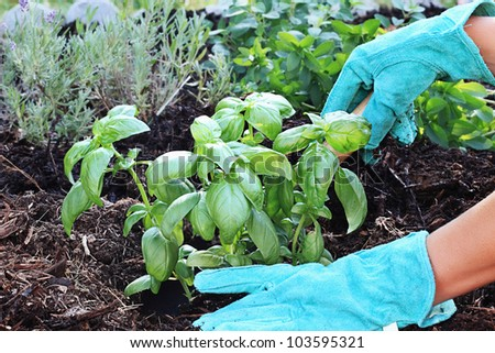 A gardener's gloved hand planting Basil with a small trowel in a herb garden with rich composted soil.
